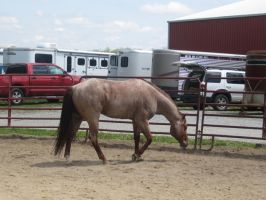 Red Roan Stallion 4 by StridingStrong-Stock