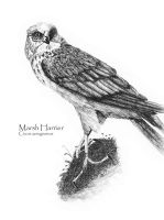 Marsh Harrier by taffmeister