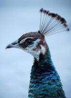peahen 9274 by loveandtears