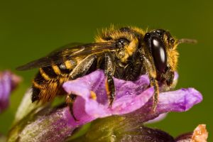 July Solitary Bee IV by dalantech