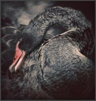 Black swan by daaram