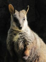 Rock Wallaby 2 by Shrewdy