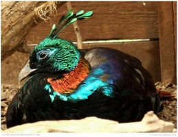 Himalayan Monal Pheasant by In-the-picture