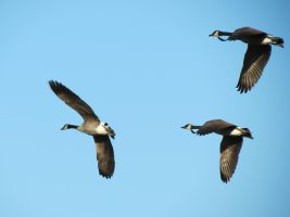 Geese in Flight! by Cryostar1177