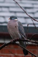 Pigeon in the Rain by GMCollins