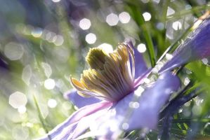 Clematis by sunlight by AngiWallace