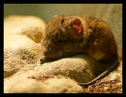 Elephant Shrew by Zyklotrop