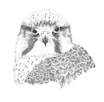 Lanner Falcon 2 by EdgedFeather