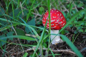 Fly Agaric Fliegenpilz by Ger-hard