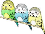 Blinking Budgies by Nashiil
