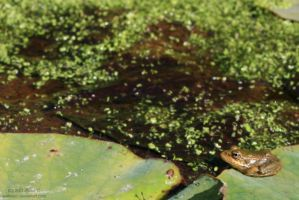 jumping frog by evilladyc