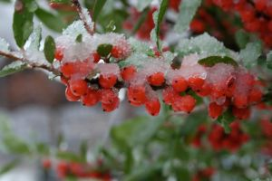 holly tree with snow on it by Carthaginian