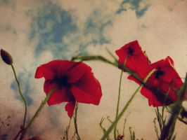 poppies. by shanonaut
