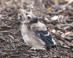 Baby Blue Jay by EdgedFeather
