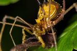 Harvestman by TheTyro