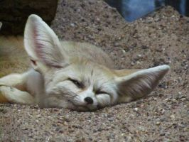 These are the words: Fennec Fox by Mouselemur