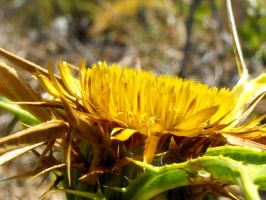 Clustered Carline thistle flower by floramelitensis