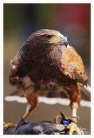 Harris Hawk Portrait III by W0LLE