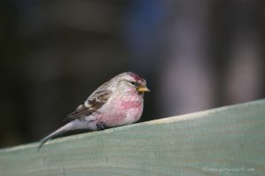 Common Redpoll by ticoun