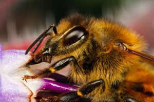 Feeding Honeybee I by dalantech