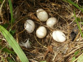 Duck eggs close-up by celticpath