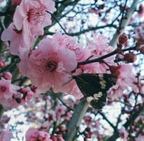 cherry blossom with butterfly by pauralotter14