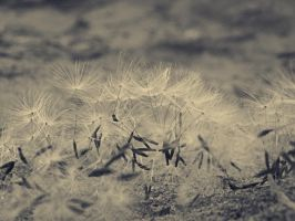 Dandelion seeds 01 by abbeyagraves
