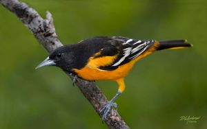 Oriole Study by DGAnder