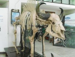 buffalo skeleton by joelshine-stock