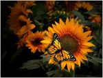 SUNFLOWERS AND MONARCH by THOM-B-FOTO