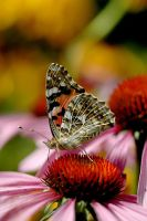 Butterfly III by amisiux