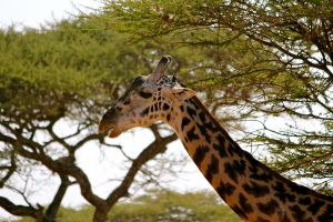 Giraffe in the Serengeti by porpierita