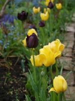 Tulips 05 by botanystock