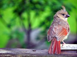 Baby Cardinal by Lou-in-Canada