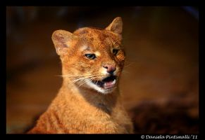 Jaguarundi by TVD-Photography