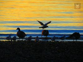 Seagull Tripping Over Canadian Goose by wolfwings1