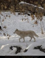 Arctic Wolf 4 by SalsolaStock