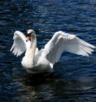 swan stretching wings stk. by LubelleCreativeSpark