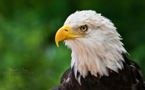 Eagle Portrait II by RHCheng