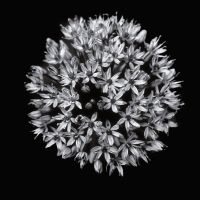 Silver flower by AlexiTQ