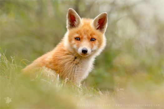 The Face of Innocence ... Red Fox Kit by thrumyeye