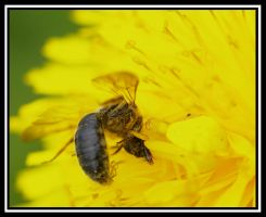 Bee on His Knees by jesse-botanical