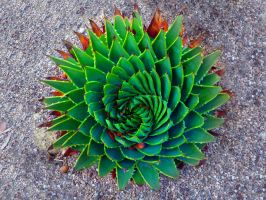 Succulent Spiral by SiqueBrand