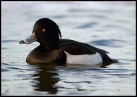 Tufted Duck by JS2010