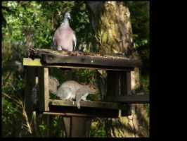 Wood pigeon and squirell by stealth49