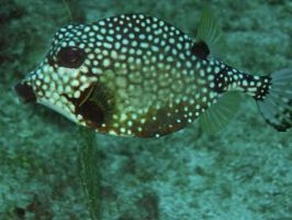 Cowfish by piratepigeon