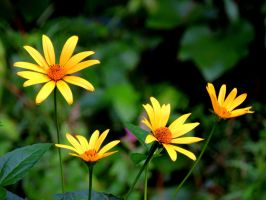 Yellow Daisies by dmguthery