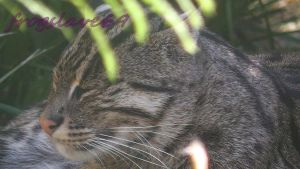 fishing cat shot 2 by frogslave69