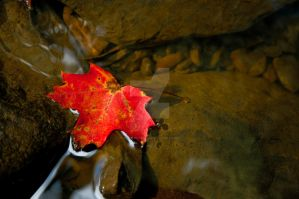 Maple Leaf by robb-nelson
