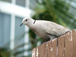 Florida Dove by tomlw